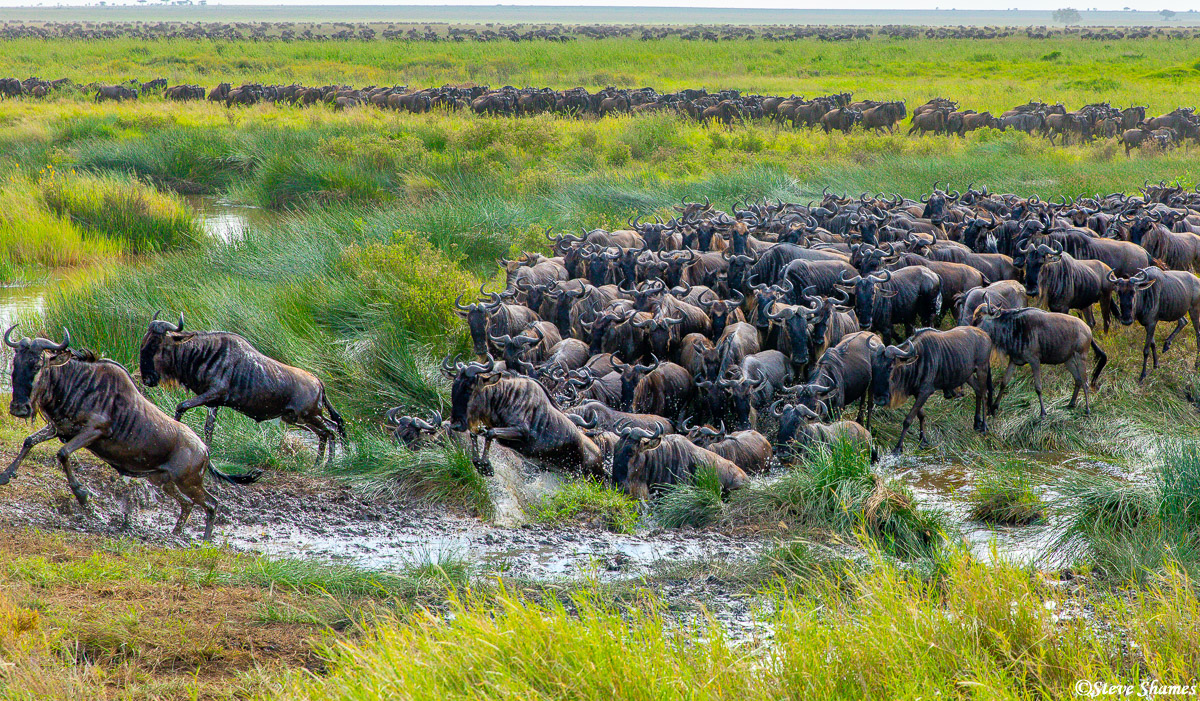 A herd of wildebeest crossing a small marsh--barely even a creek. They always cross water in an extreme hurry.