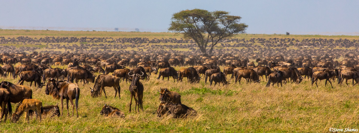 Wildebeest everywhere! Much of the central Serengeti is full of wildebeest in June.