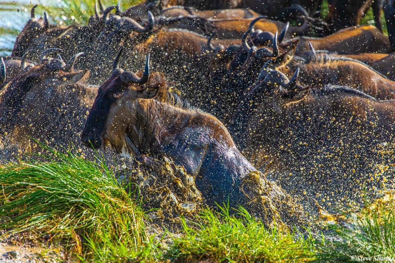 Wildebeest frantically splashing through the water.