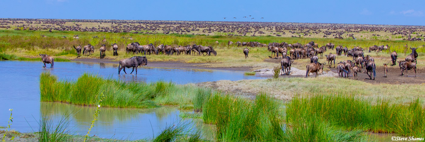 A panorama view of a herd of wildebeest, all the way to the horizon.