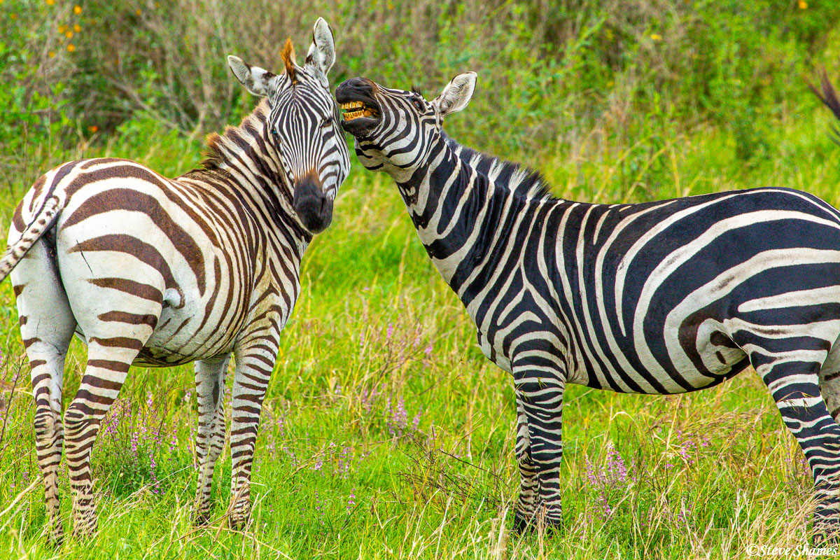 This one zebra looks like it is telling a secret to the other.