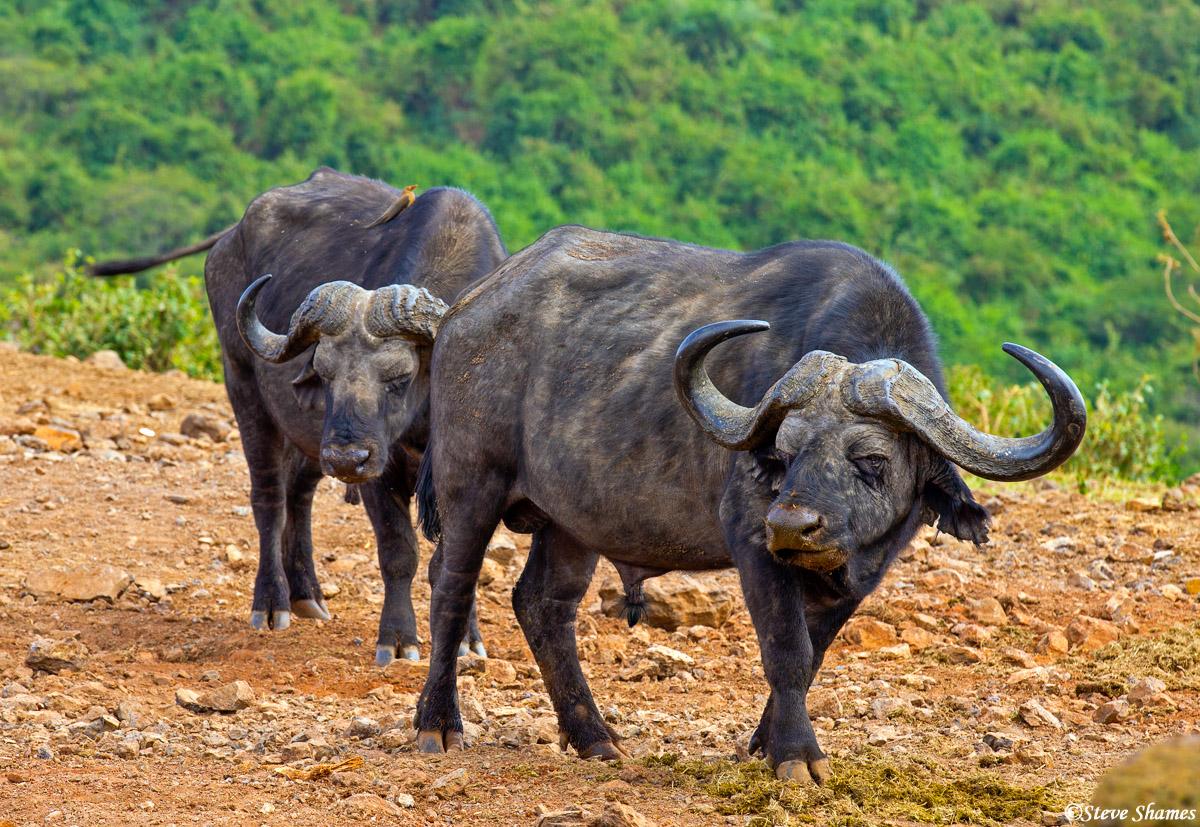 aberdare national park, kenya, african cape buffalo, photo
