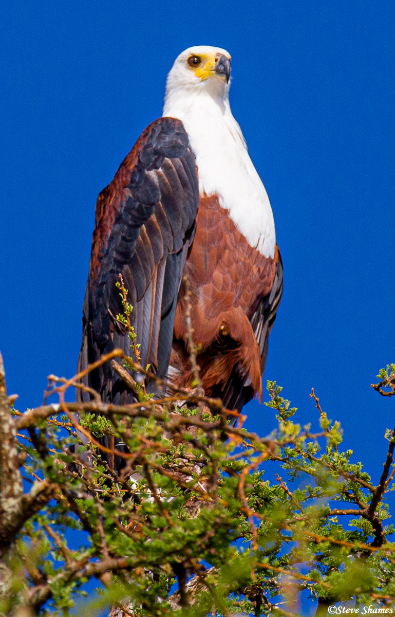 tarangire national park, tanzania, african fish eagle, photo