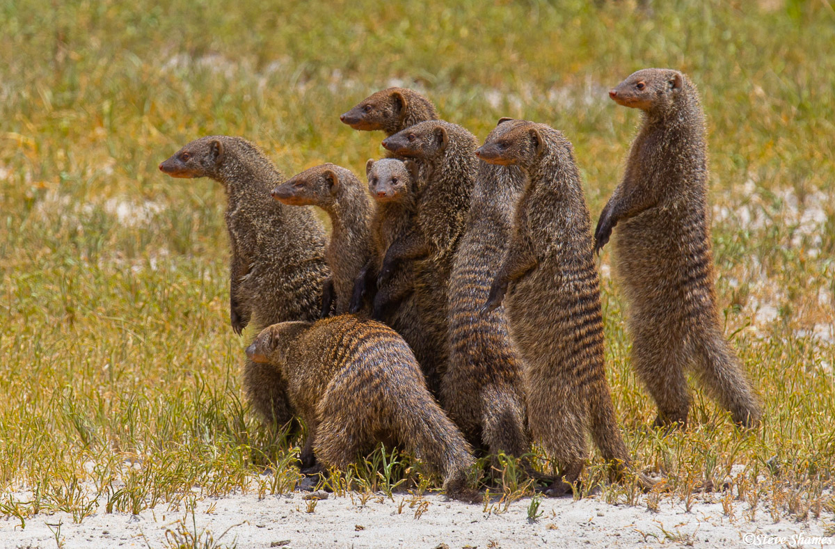 african mongoose, tarangire, national park, tanzania, photo