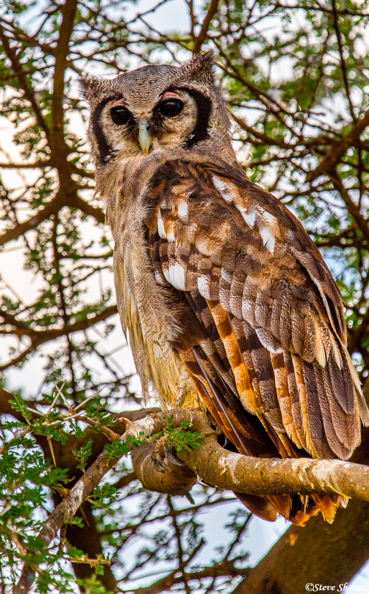 african owl, serengeti, national park, tanzania, photo