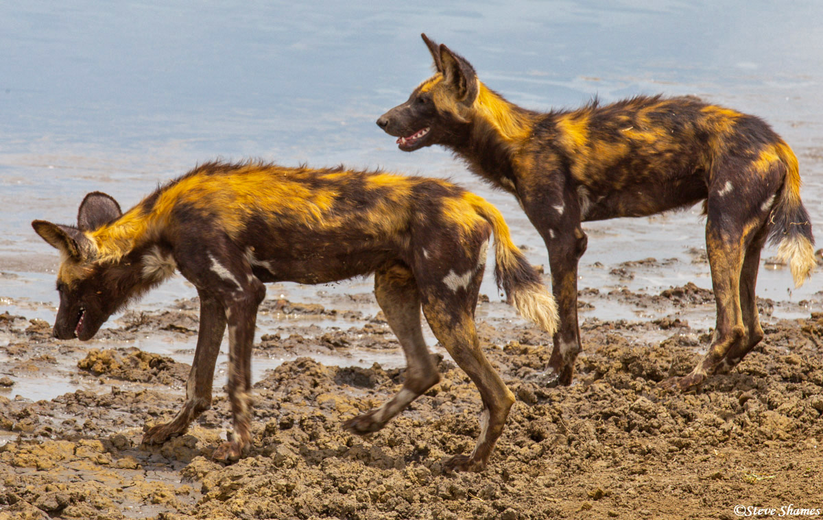 serengeti, african wild hunting dogs, colorful animals, photo