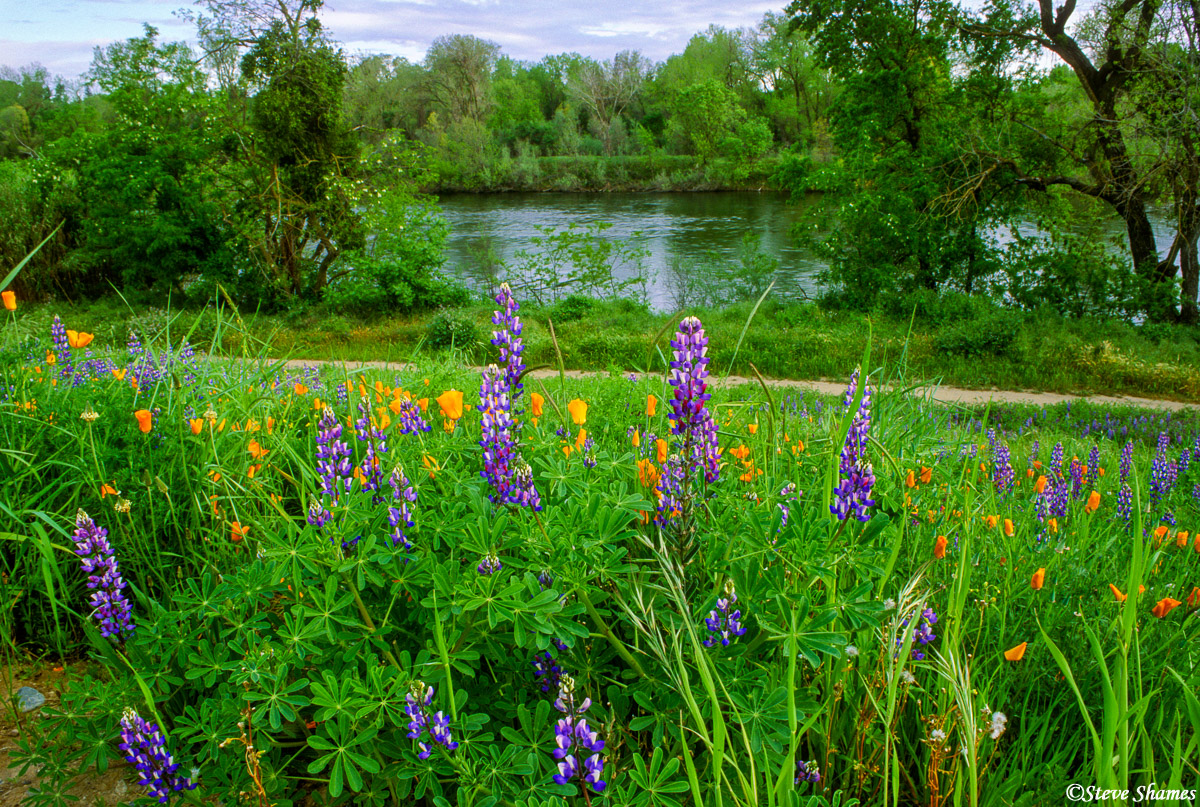 american river, lupines, sacramento valley, california, photo