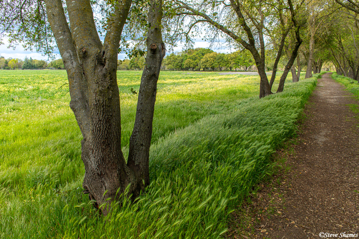 A walking trail along the American River along the tall grass.