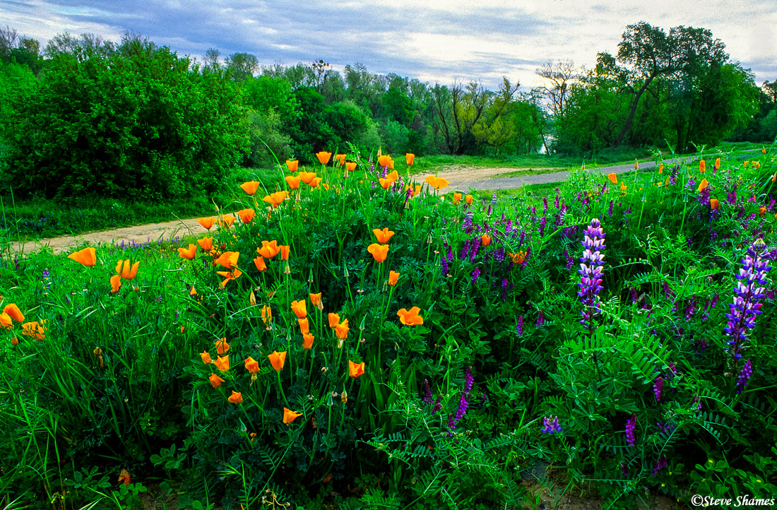 sacramento valley, california, american river, poppies, lupines, photo