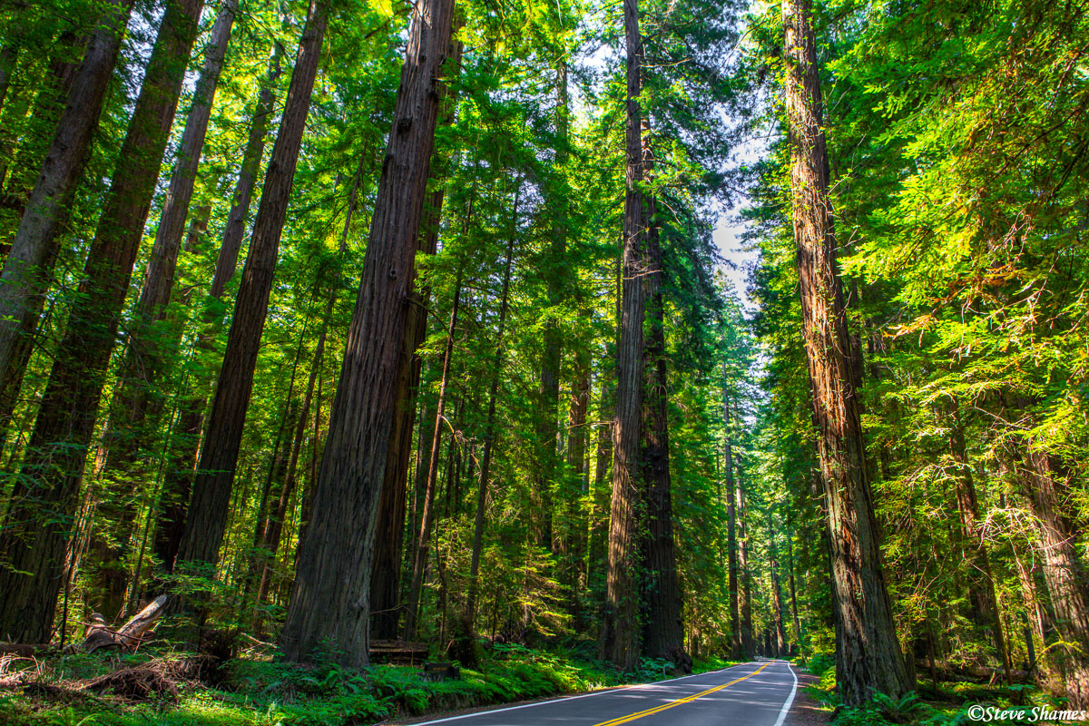 "This is the ""Avenue of the Giants"". A road that winds through the redwoods."