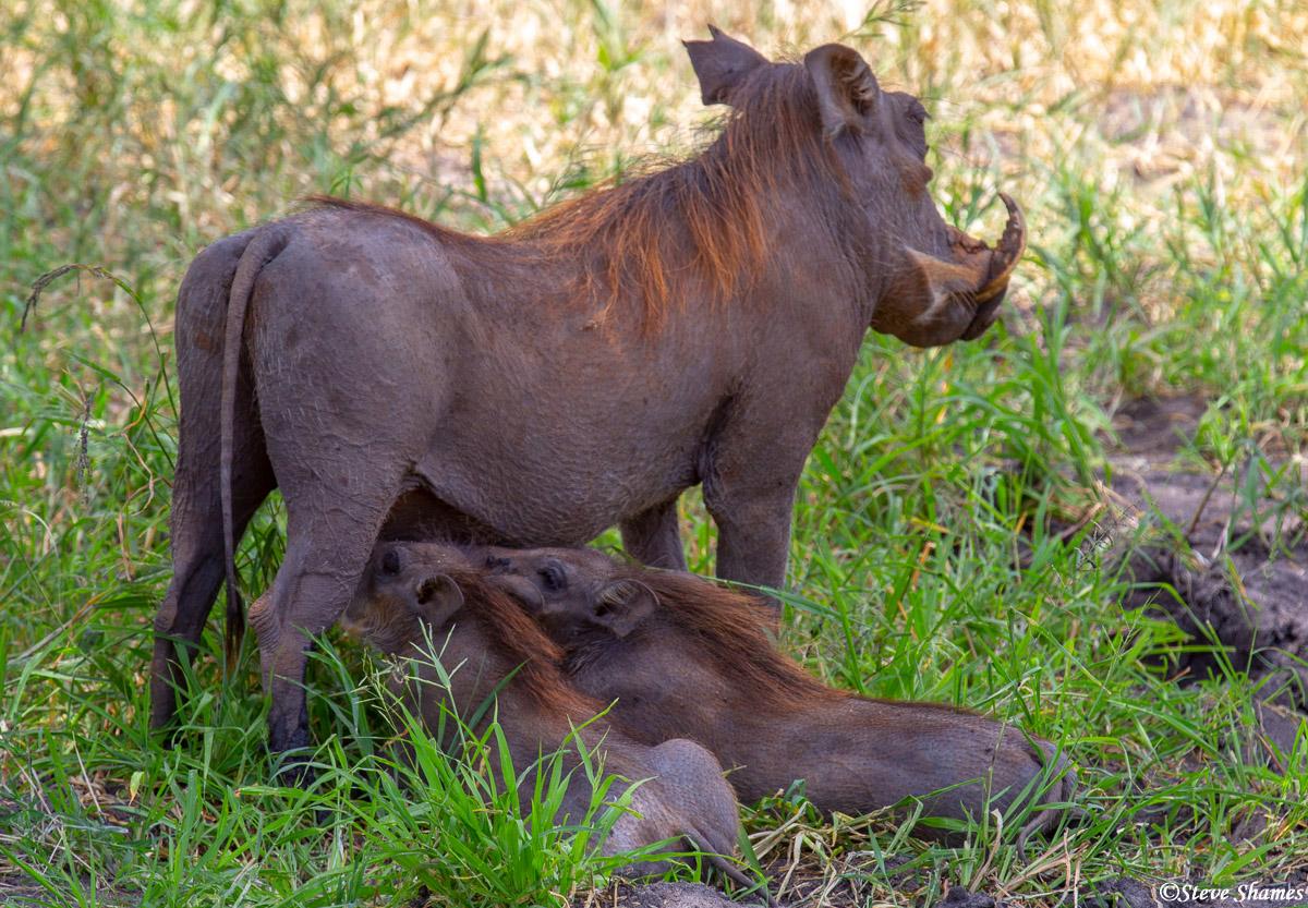 baby warthogs, tarangire, national park, tanzania, photo