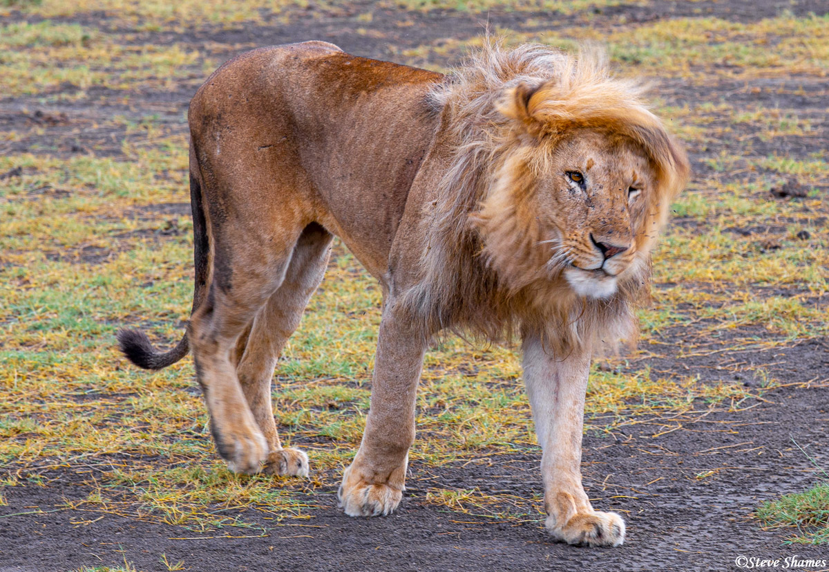 serengeti lion, national park, tanzania, photo
