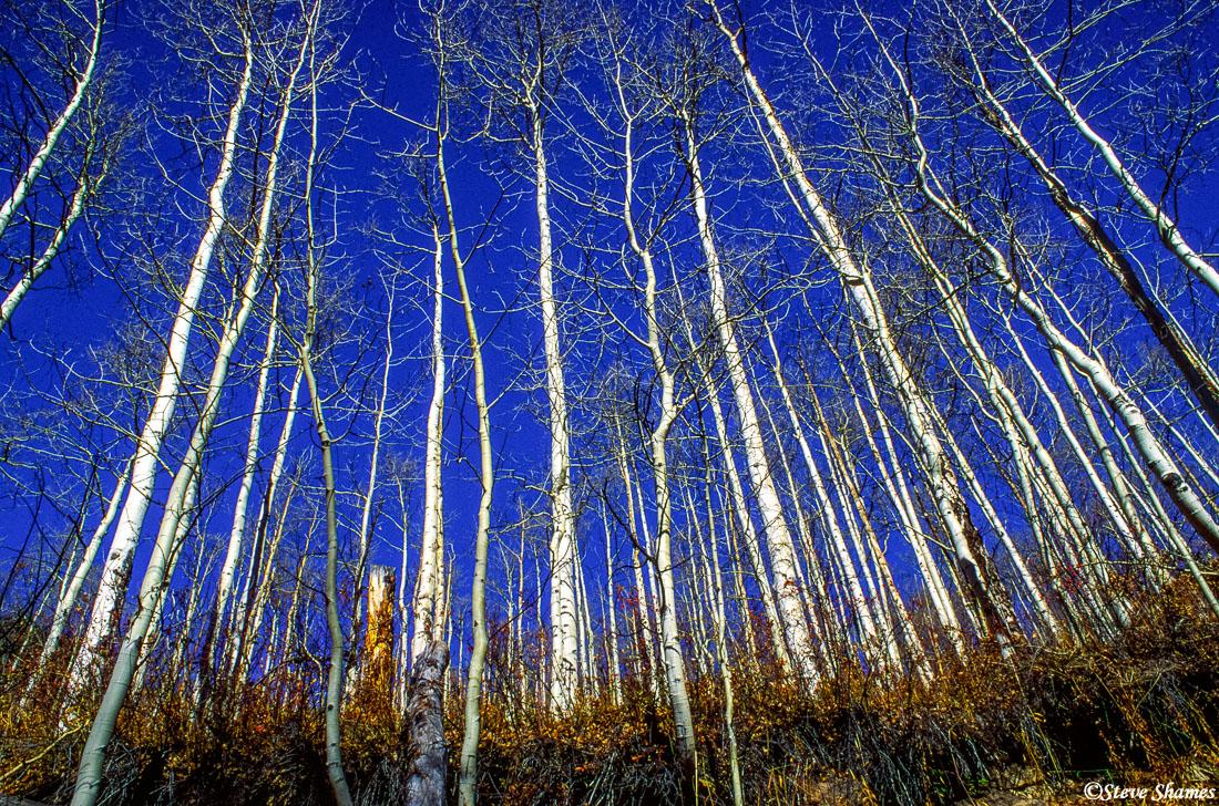 rocky mountain national park, colorado, aspen trees, blue sky, photo