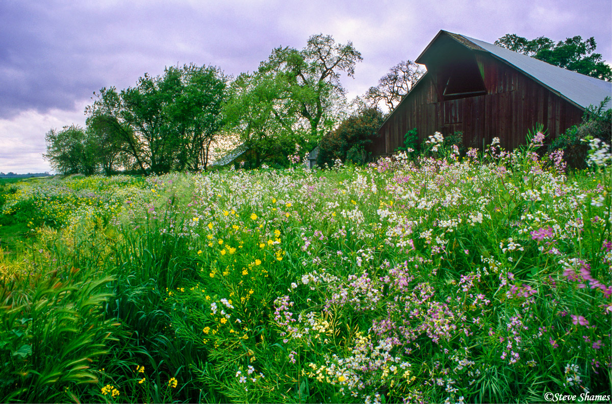 wild radish, sacramento valley, california, photo