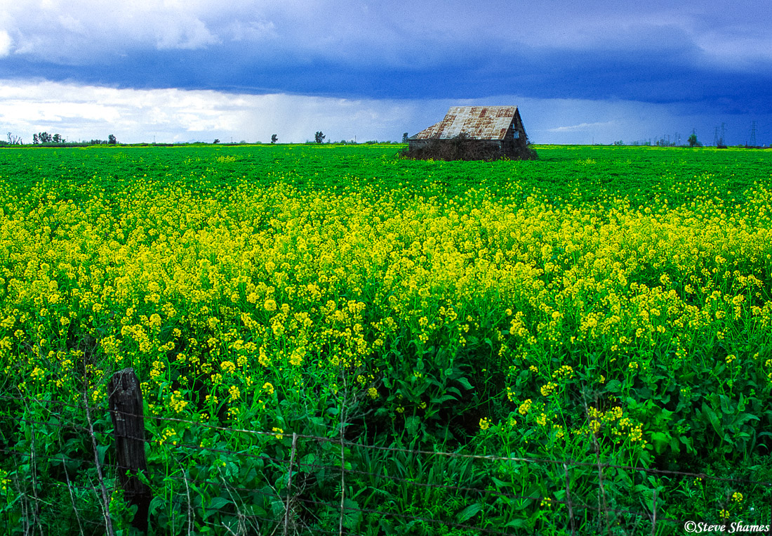 sacramento valley, california, mustard field, barn, photo