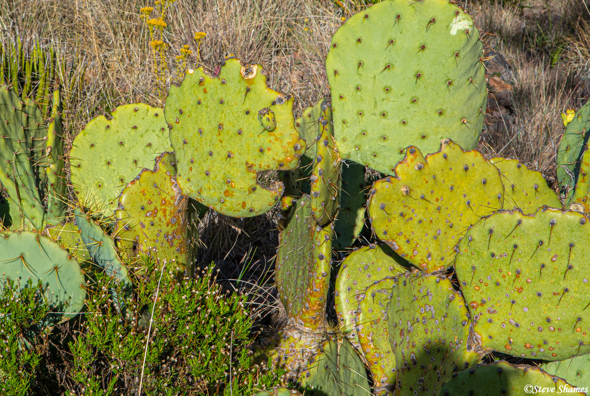 cactus, big bend national park, west texas, photo