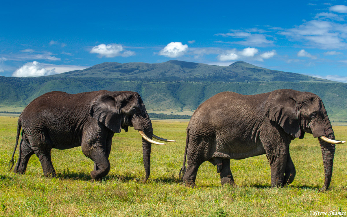 ngorongoro crater, big bull elephants tanzania, photo