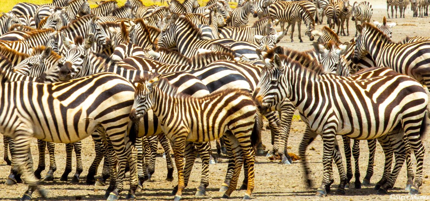 serengeti, national park, tanzania, cluster of zebras, photo