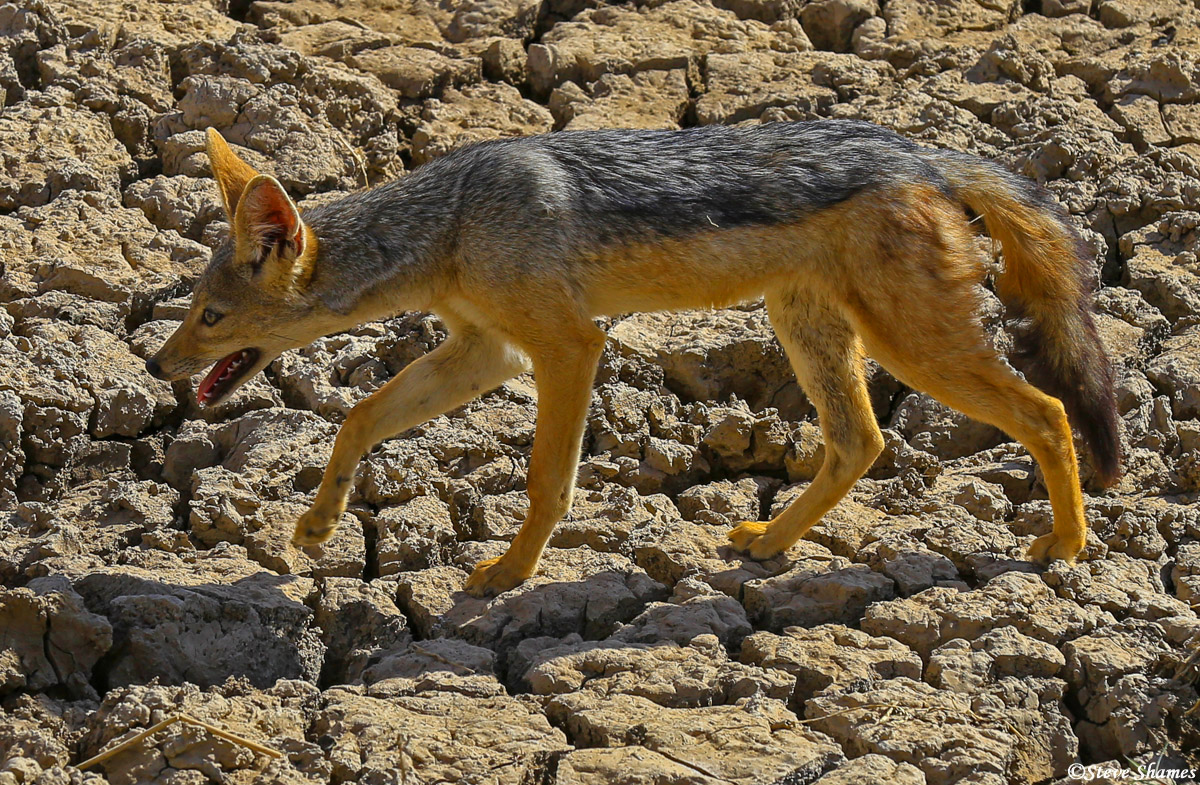 black backed jackal, lake nakuru, national park, kenya, photo