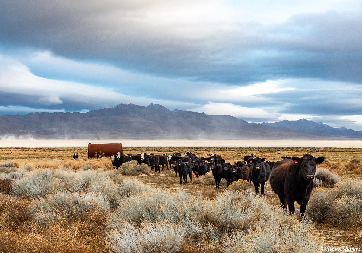 curious cows, black rock desert, nevada, photo
