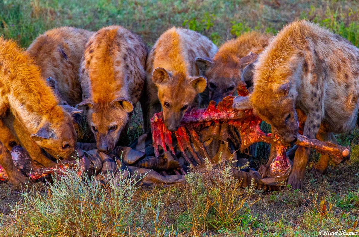 hyenas, bone crunching, serengeti, tanzania, photo