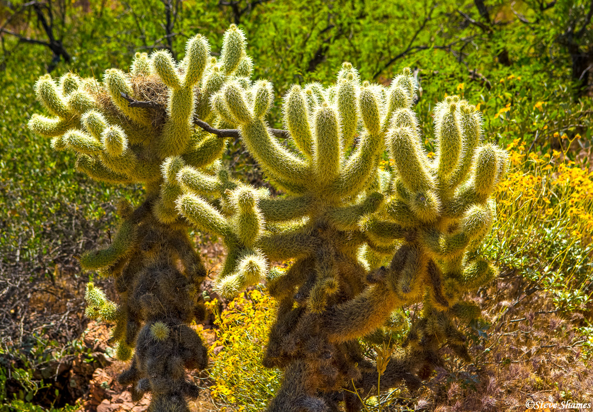 tonto national monument, arizona, glowing cactus, photo