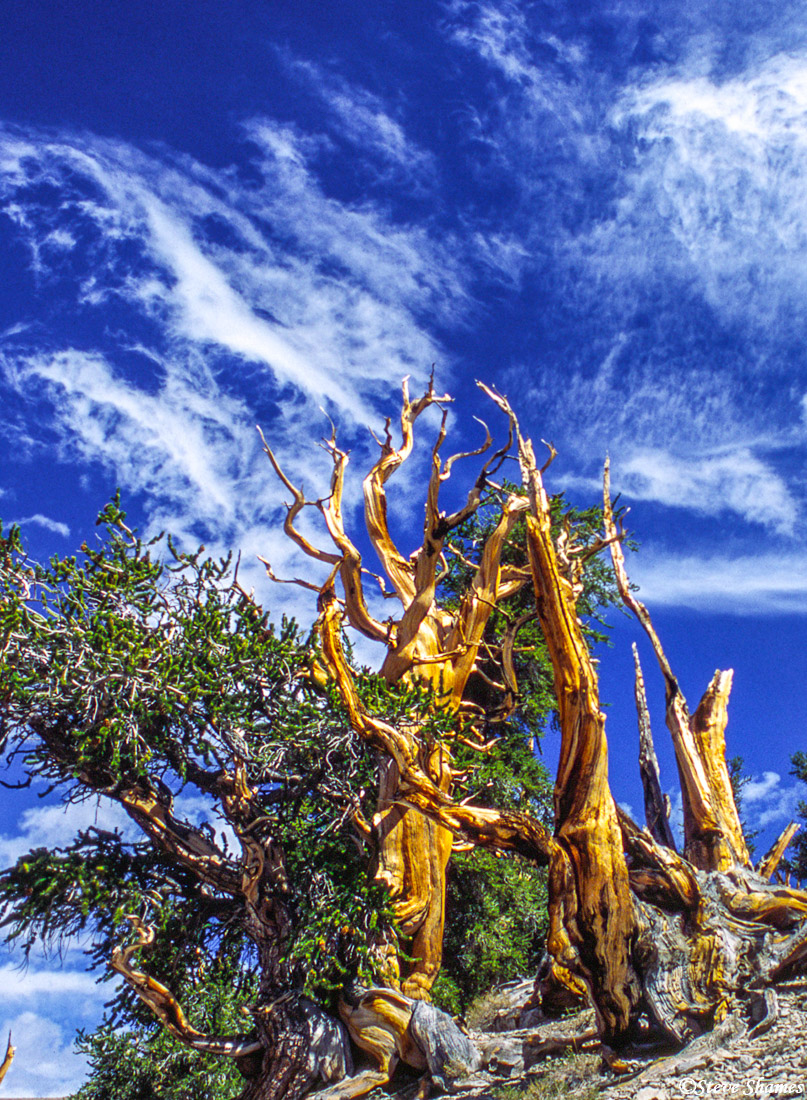 ancient, bristlecone pine, barren forest oldest living things, photo