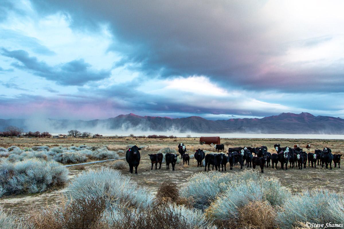 burning man festival, black rock desert, nevada, cows, photo