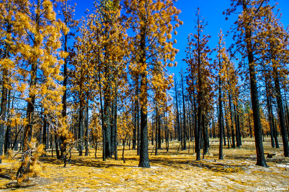 A forest of burnt trees had kind of a surreal look.