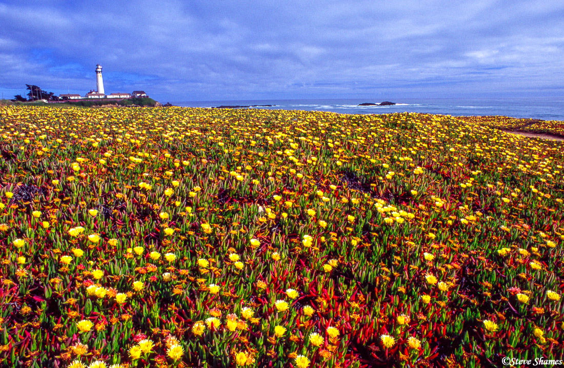 sonoma county, california ice plant, photo