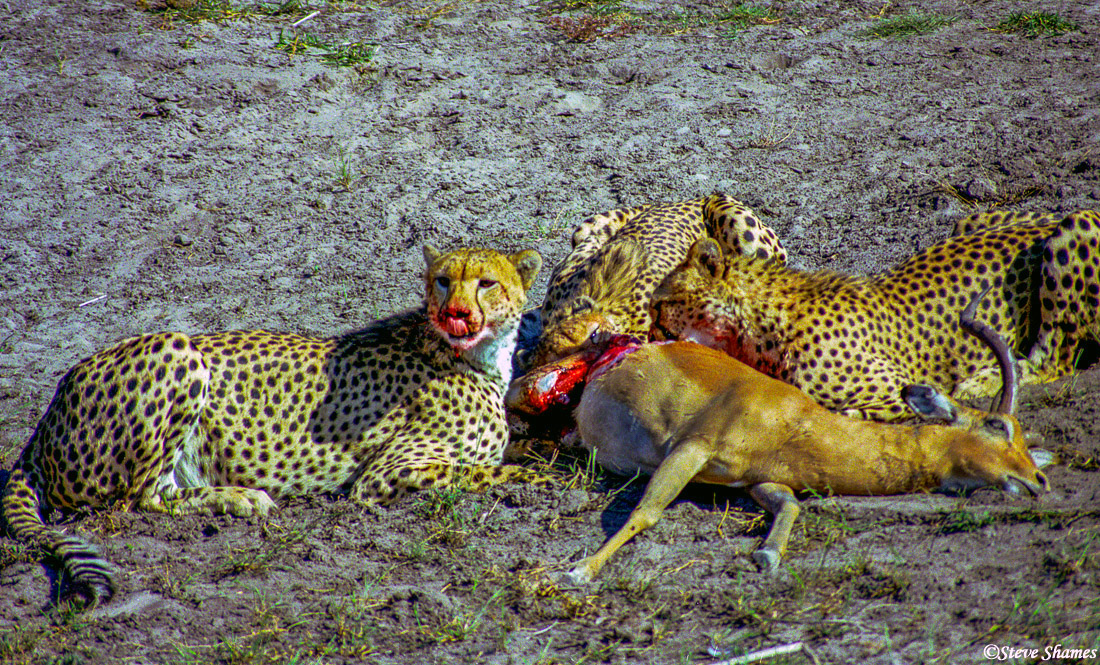 cheetahs eating, moremi game reserve, okavango delta, botswana, photo