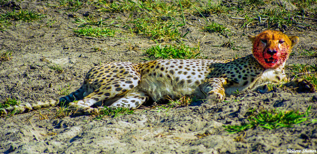 cheetah resting, moremi game reserve, okavango delta, botswana, photo