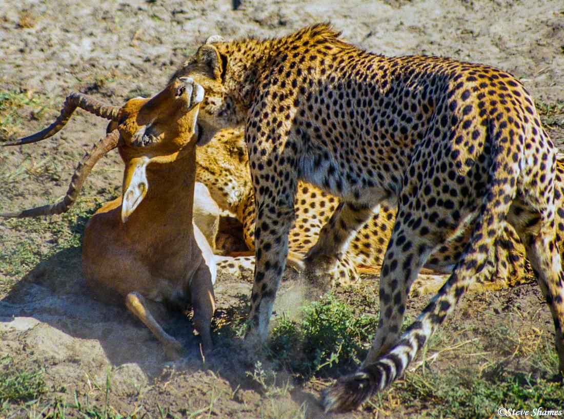 cheetah suffocation hold, moremi game reserve, okavango delta, botswana, photo
