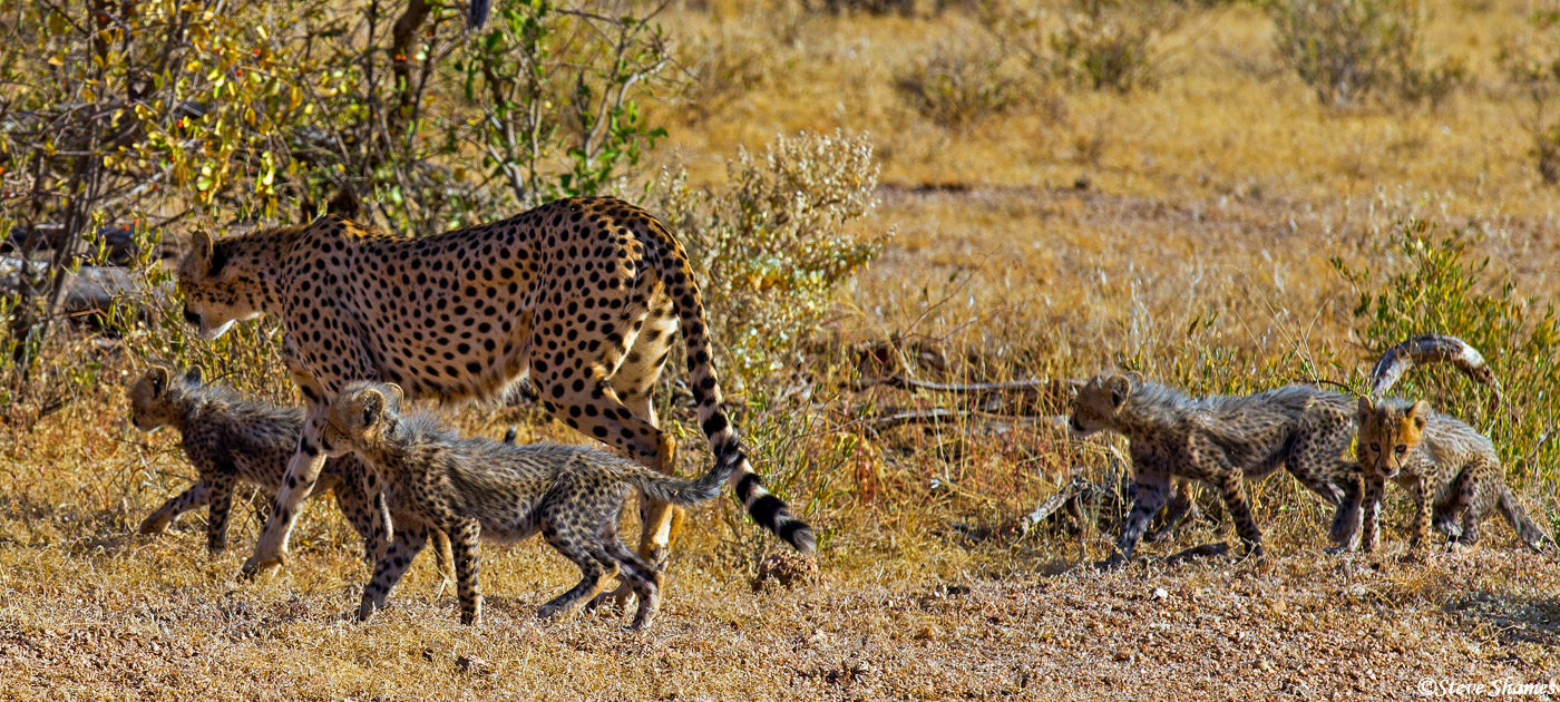 samburu, kenya, mother cheetah, cubs, photo