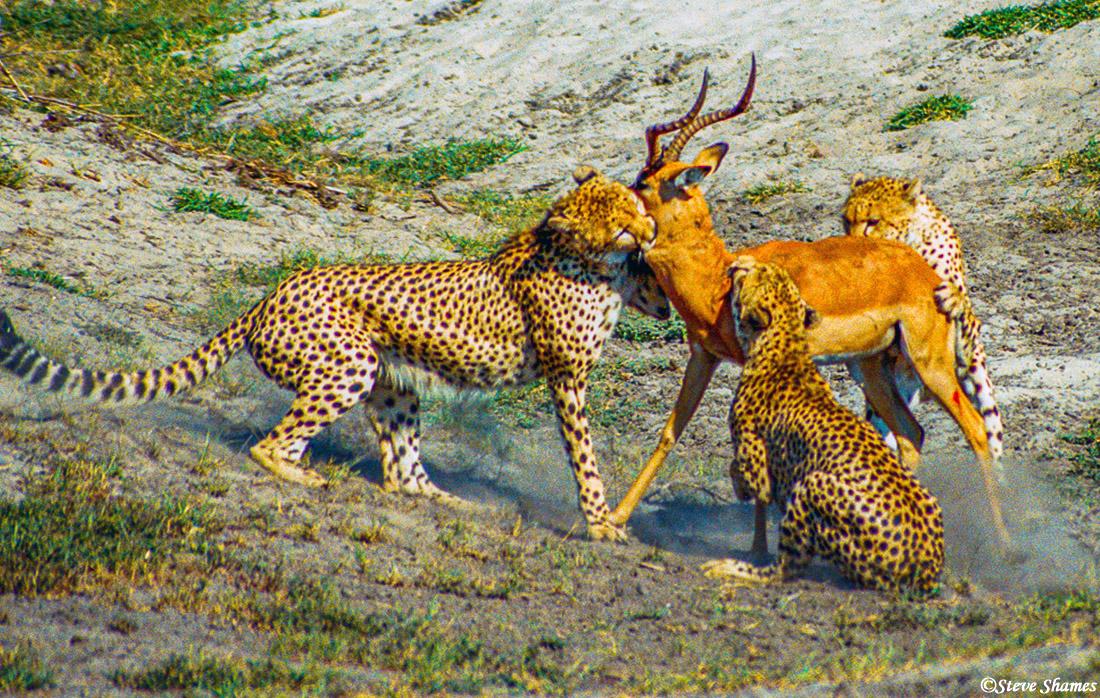 cheetahs catching impala, moremi game reserve, okavango delta, botswana, photo
