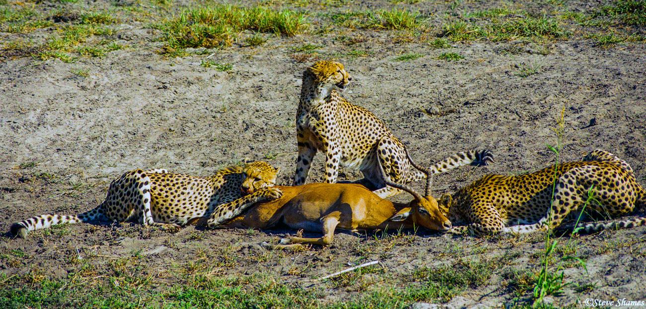 cheetah killing impala, moremi game reserve, okavango delta, botswana, photo