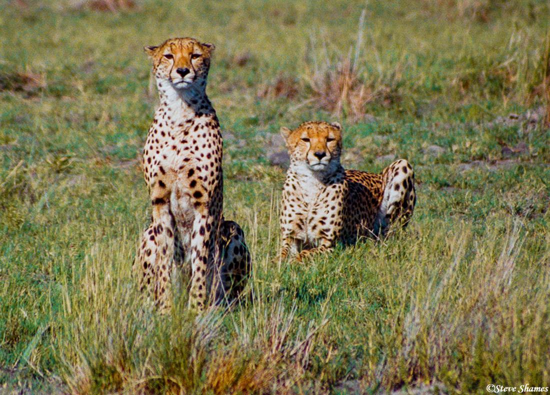 moremi game reserve, botswana, brother cheetahs, photo