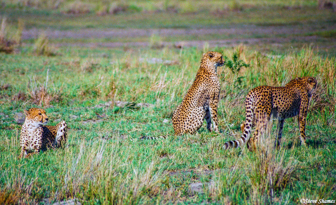 cheetah brothers, moremi game reserve, okavango delta, botswana, photo