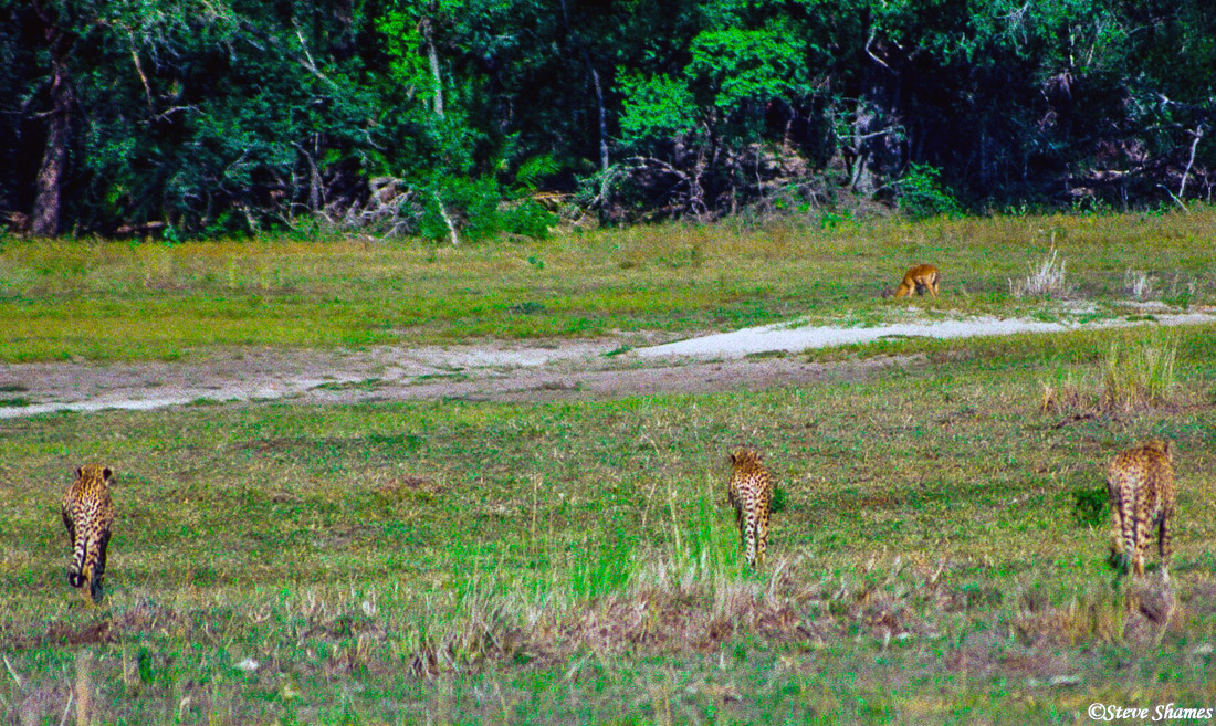 cheetahs stalking, impala, moremi game reserve, okavango delta, botswana, photo