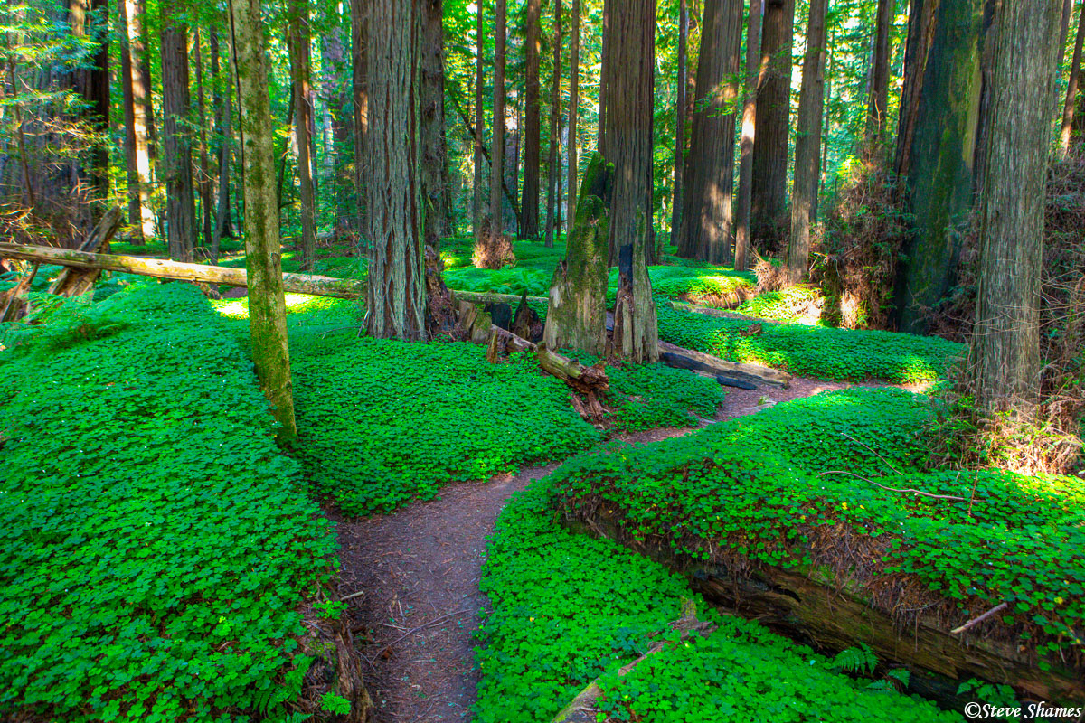 At the feet of the redwood forest, is another forest -- a forest of clover!