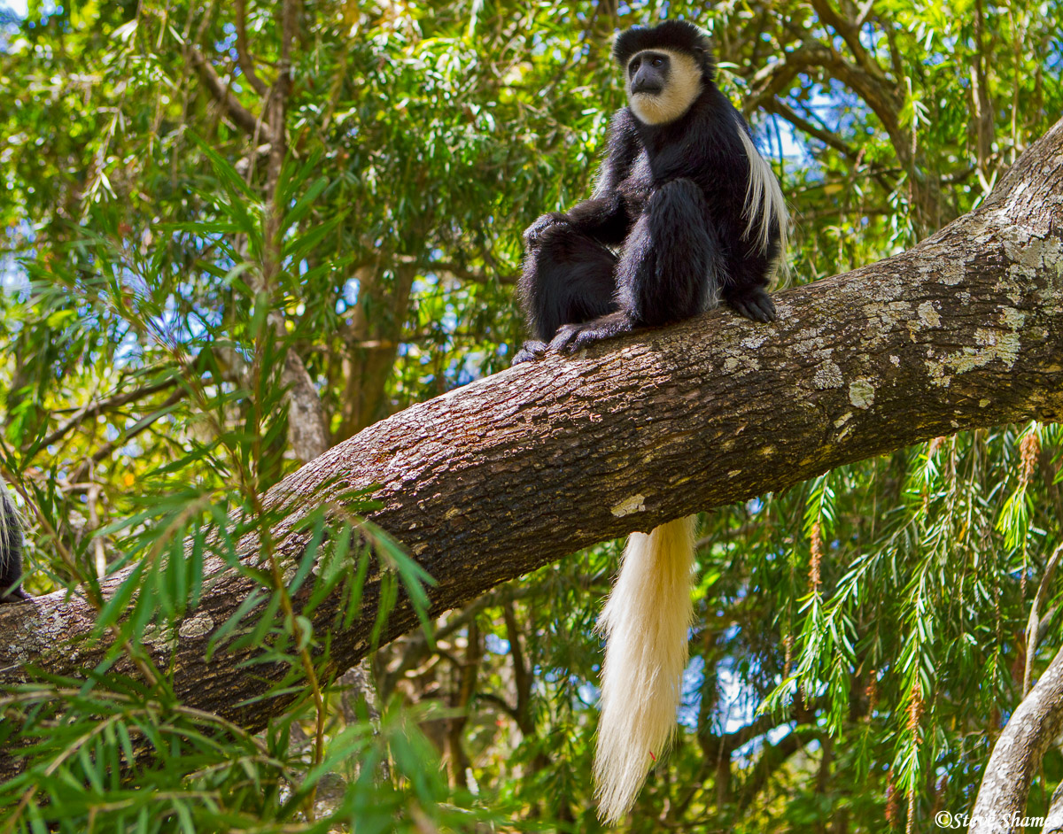 trout tree restaurant, kenya, colobus monkey, photo