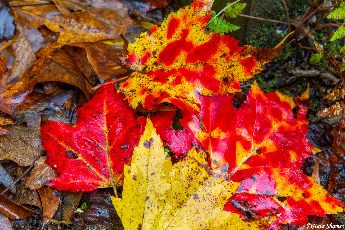 Colorful leaves on a rainy day, in the north Georgia mountains.