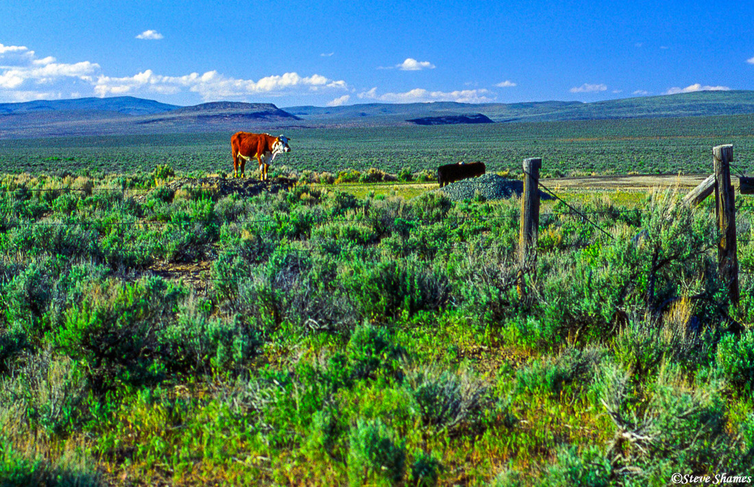 california cows, highway 447 nevada, happy cow, photo