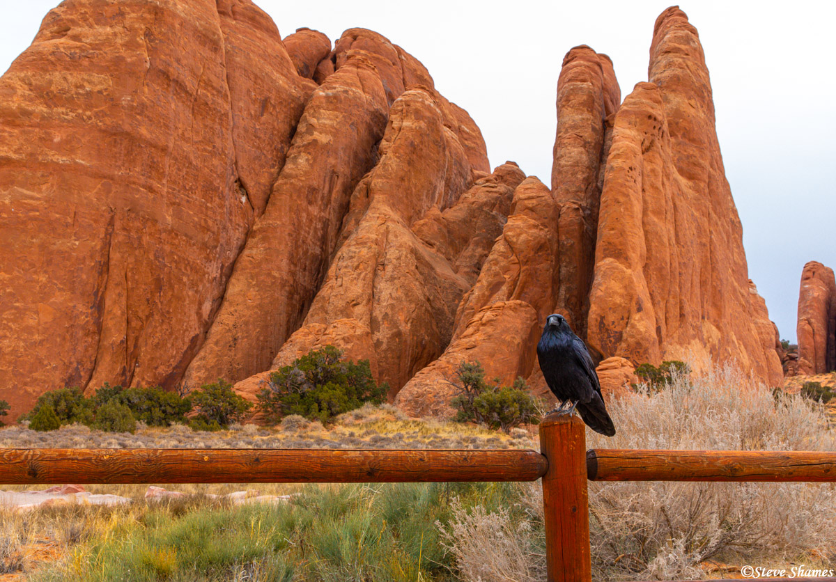 Crow posing in front of slabs of red rocks at Arches.