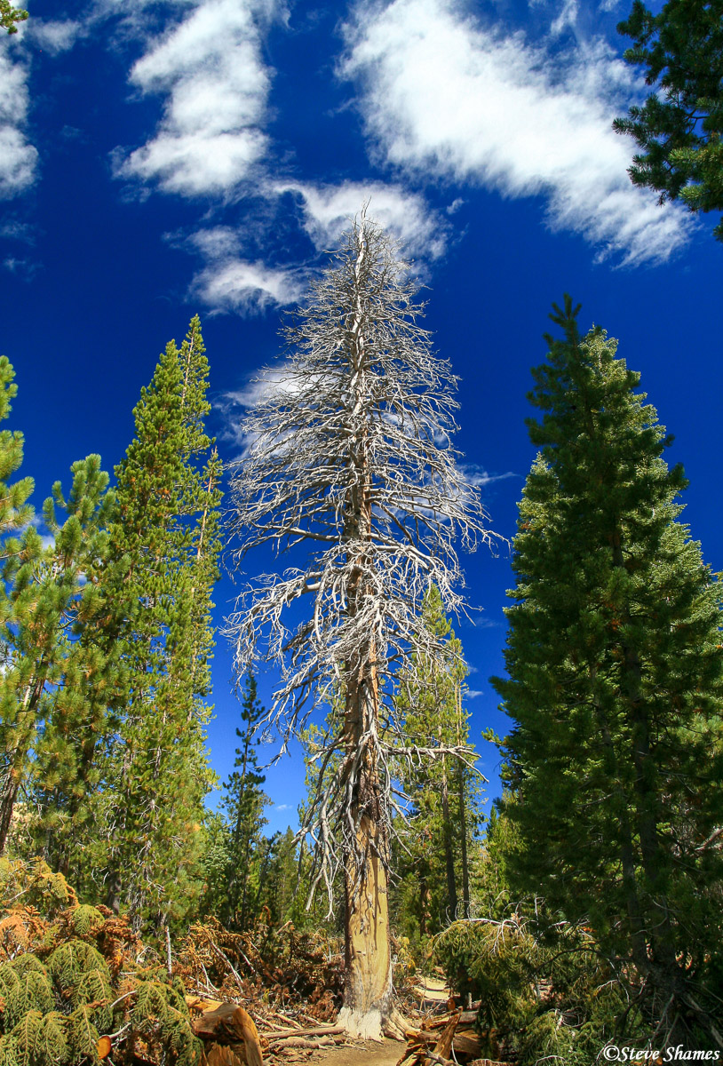 devils postpile, national monument, california, dead tree, photo