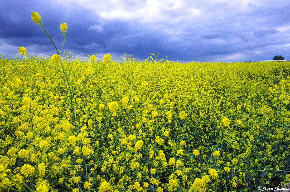 wild mustard, plants, sacramento valley, california, photo
