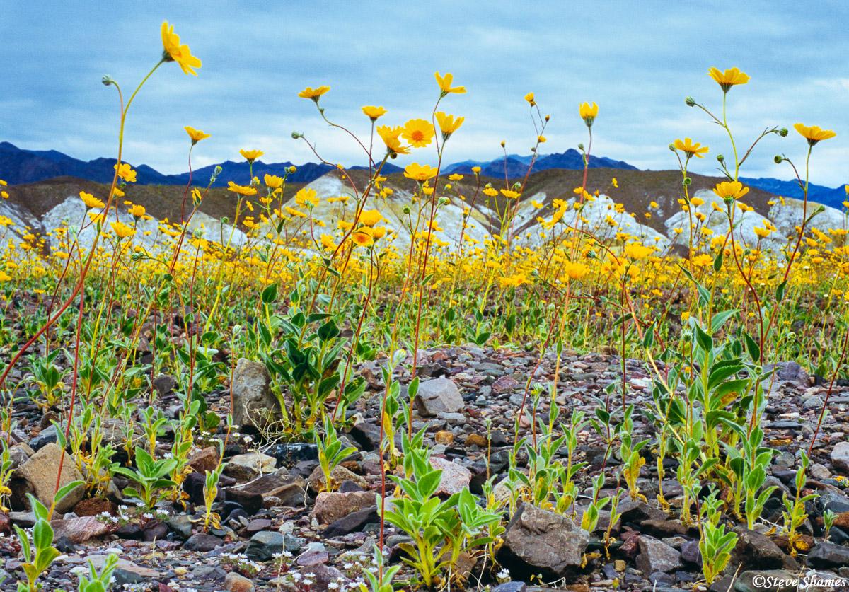 death valley national park, flower bloom, desert gold, photo