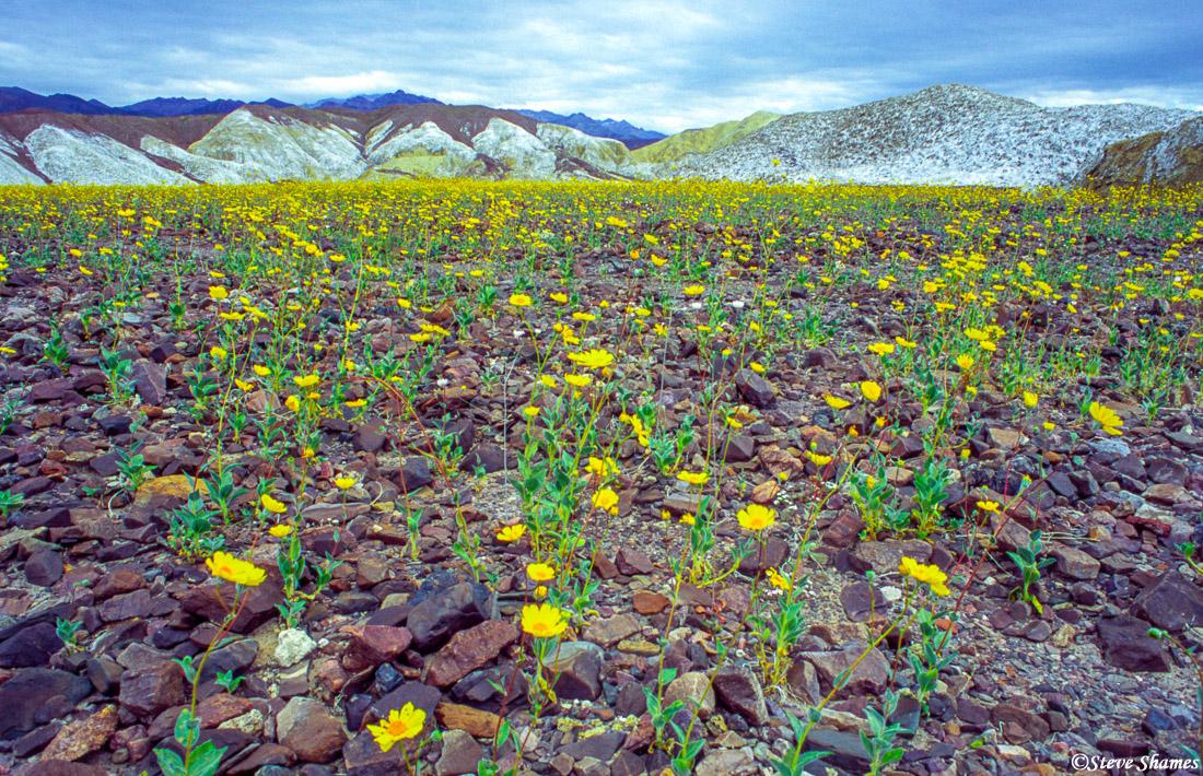 death valley national park, flower bloom, rocky field, desert gold, photo