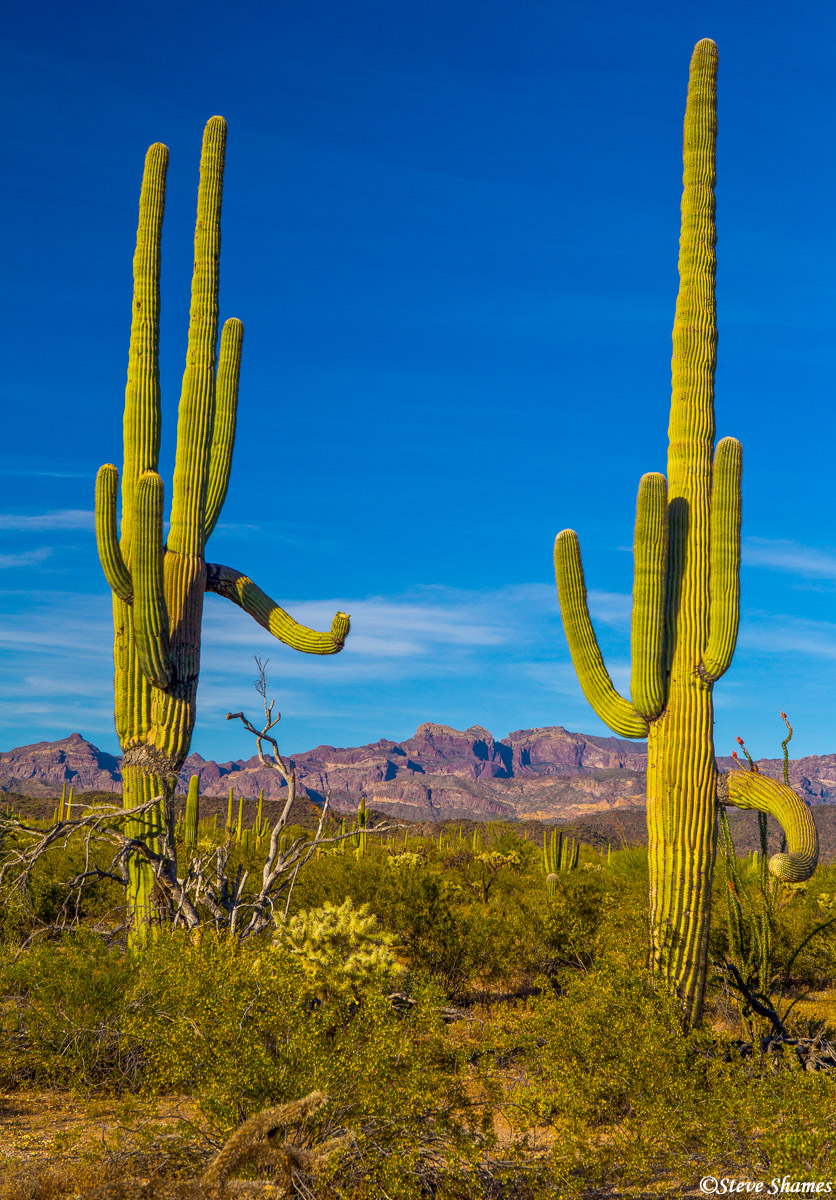 organ pipe, cactus, national monument, arizona, desert sentinels, photo
