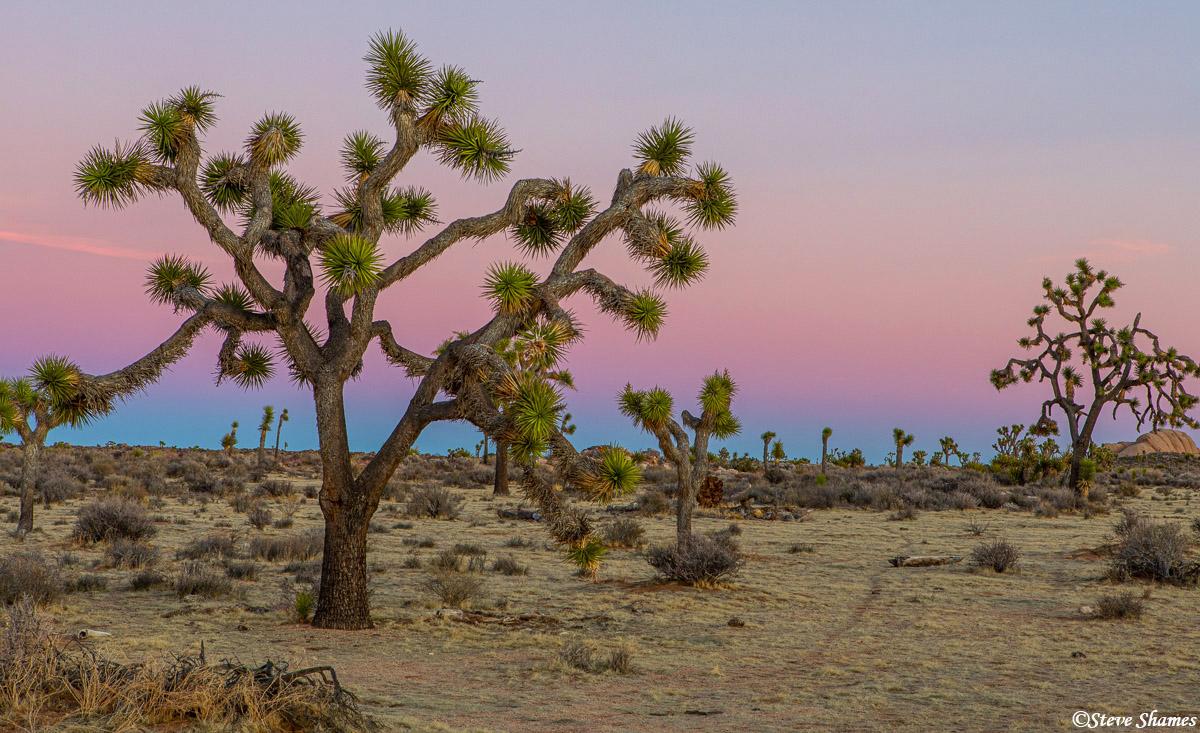 joshua tree, national park, southern california, photo